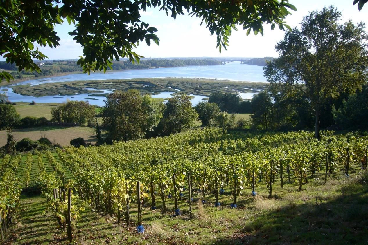 La vigne en bretagne becedia - Parasite de la vigne ...