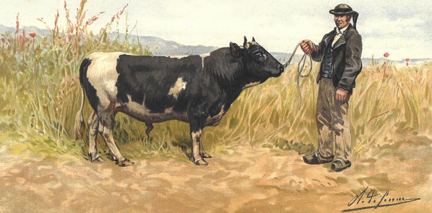 La race bovine Bretonne Pie-Noir | Becedia